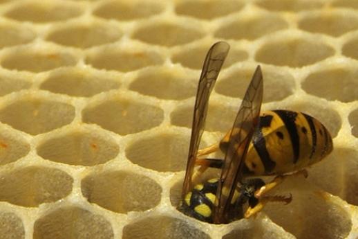 Wasp_495x330.jpg