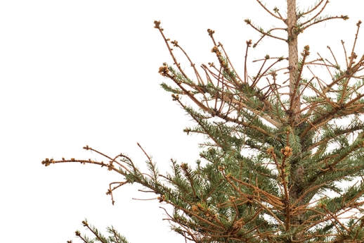 Pine-image.jpg